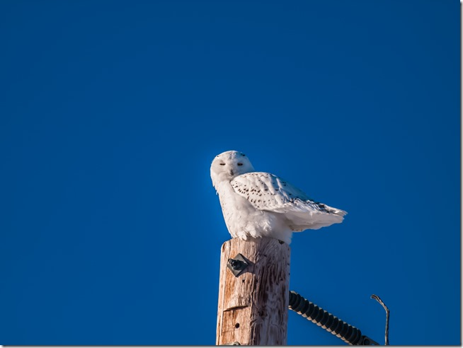 Snowy Owl sitting on top of a Hydro Pole with a deep blue sky in the background